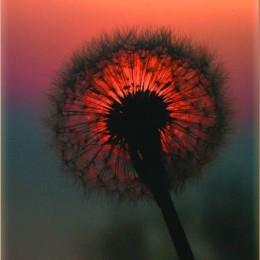 sunce u cvetu