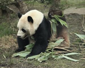 panda_yoga